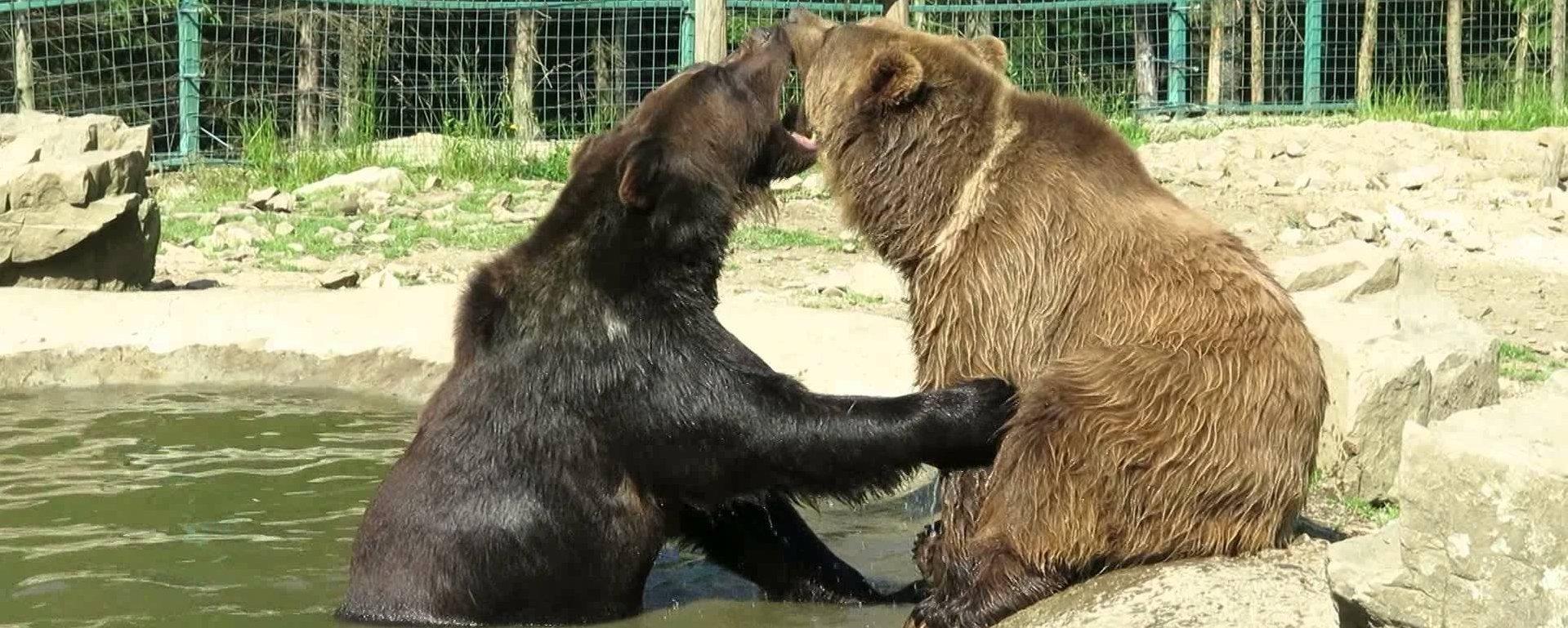 медвели в реабилитационном центре Синевир