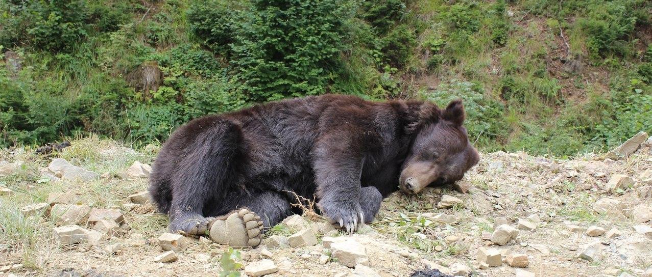 Идеальные условия для дикого медведя в центре Синевир